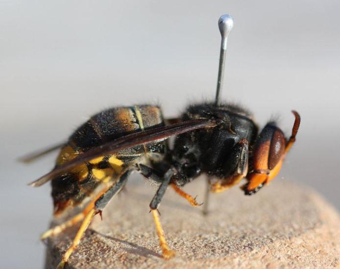Le frelon asiatique menace l'apiculture
