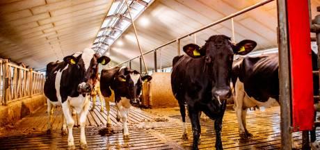 Veel boeren hebben geen opvolgers: 'Koeien verdwijnen uit Ooijpolder'