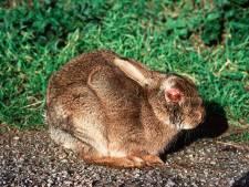 Tientallen dode konijnen in Zeeland, 'inenten voor sommigen te duur'