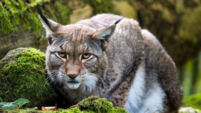 """VIDEO: """"Zo goed als zeker lynx in Vlaanderen"""""""