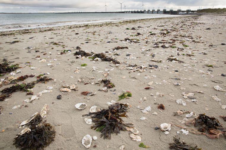 Liggen laten, strandbeheerders!  Niet opruimen. Stranden, zoals dit strookje bij Neeltje Jans,  moeten weer natuurlijk worden. Beeld Arie Kievit