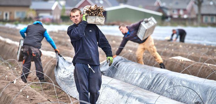 Aspergestekers op de aspergevelden aan het werk.