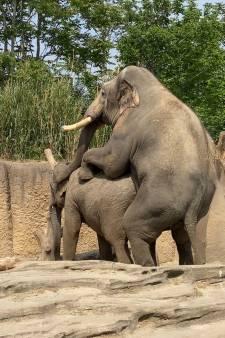 'Blijdorp-olifant' Timber voelt zich direct thuis in Emmen en dekt erop los