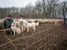 Deze honden houden wolven weg bij de schapen op Sallandse Heuvelrug, maar duur is dat wel