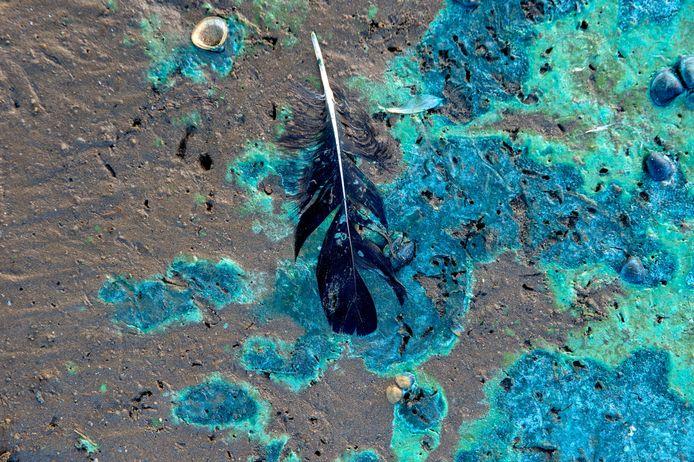 Resten van blauwalg langs de Kaliwaal.
