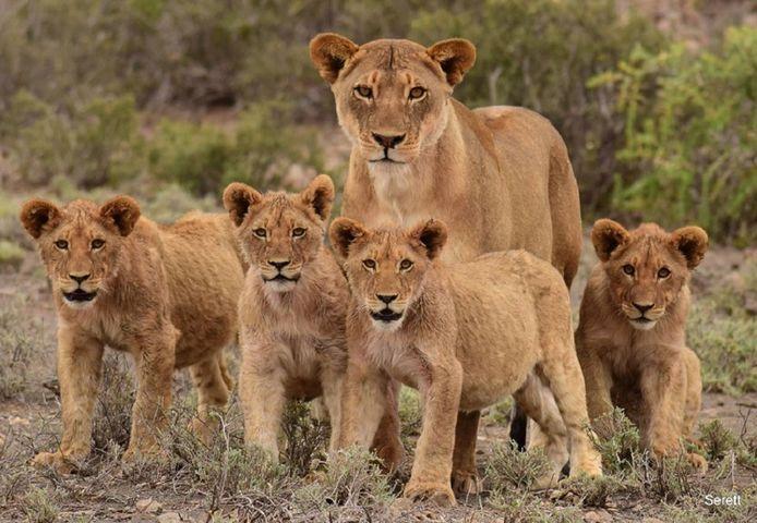 Een leeuwin met welpen in Karoo National Park.