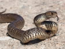 Un fermier tué par un serpent tigre de 1,4 mètre