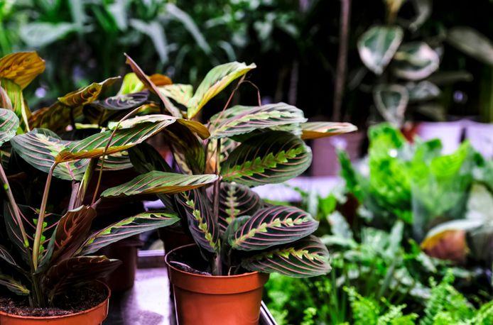 Maranta leuconeura, of de prayerplant