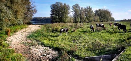 Koeien in de Hondswaard wandelen door droge rivier