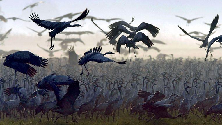 Als ze vliegen, strekken de vogels hun nek en steltpoten waardoor ze langer dan een meter zijn.
