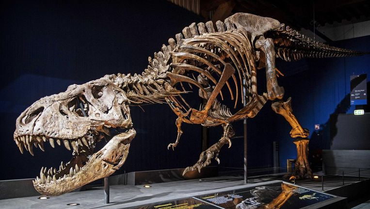 Het skelet van T.rex Trix staat opgesteld in een zaal van museum Naturalis. Beeld anp