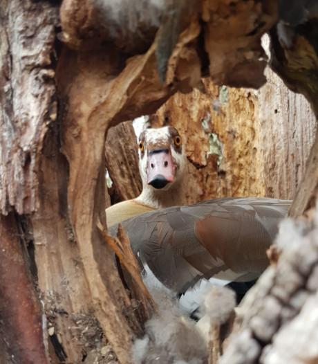 Nijlganzen dwarsbomen kap van Zwijndrechtse boom