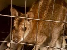 Winterswijkse wallaby gevangen in Haaksbergen