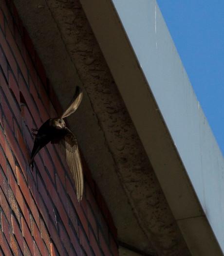 Toekomst gierzwaluw bij De Voorste Venne in Drunen lijkt veiliggesteld