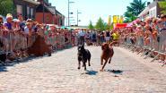 Macharius ommegang en ludieke hondenkoers op Sinksenkermis Laarne
