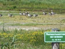 Franse stropers gestraft voor vangen grauwe gansjes bij Oostvaardersplassen