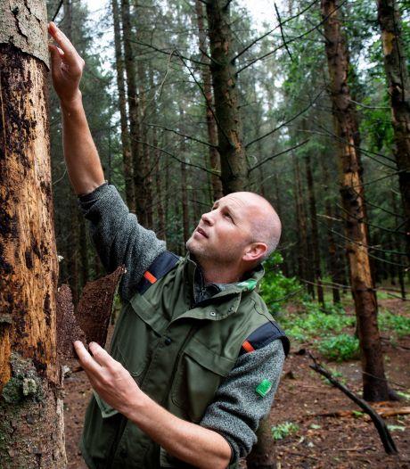 Droogte slaat diepe wonden in Veluwse bossen: zijn onze naaldbomen straks verdwenen?