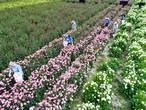 Meer dan 250.000 dahlia's geplukt in Marknesse