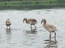 Drie flamingokuikens in 2013.
