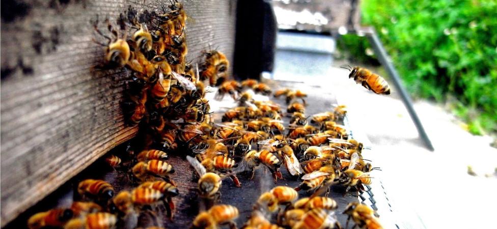 Dieren zijn in de vrije natuur mogelijk 2500 keer gevoeliger voor 'bijengif' dan gedacht, maar die ontdekking komt te laat