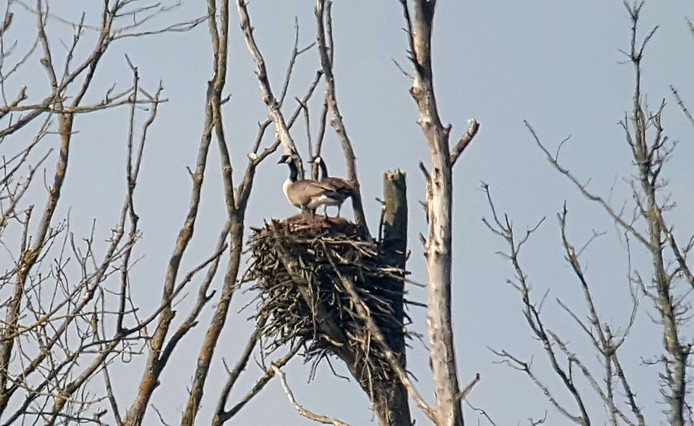 Twee ganzen pikken nest in van de visarenden in de Biesbosch.