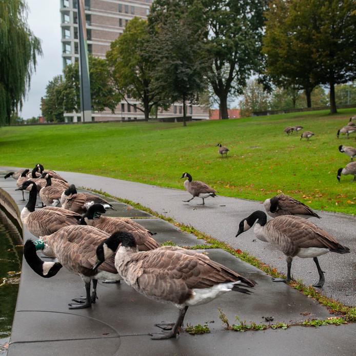 Canadese ganzen bij de IJzeren Vrouw in het Prins Hendrikpark.