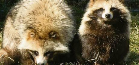 Wasbeer en wolhandkrab zijn dichterbij dan je denkt