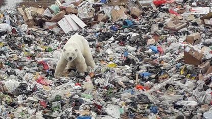 Schrijnend stadsavontuur voorbij: verdwaalde ijsbeer die op afvalberg naar voedsel zocht, gevat en naar opvangcentrum gebracht