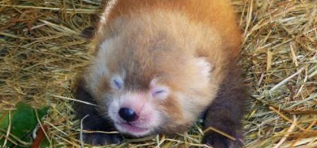 Zeldzame rode panda geboren in Beekse Bergen