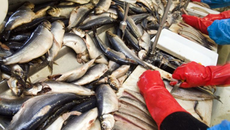 Het visproductschap laat het haringseizoen beginnen op een moment dat de haring nog niet op zijn best is. Foto ANP Beeld