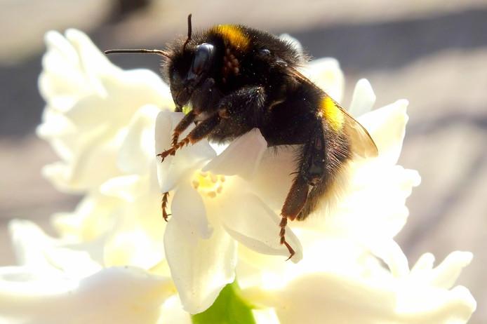 een bij doet zich tegoed aan een lekker geurende hyacint. op 28 februari