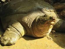 Vrouwtje gevonden voor zeer zeldzame schildpad in Vietnam: 'Beste nieuws van het jaar'