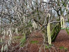 Bomen moeten wijken voor omleidingsweg Rucphen