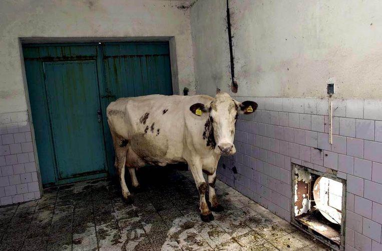 Een koe verdacht van BSE-besmetting in quarantaine in Slowakije. Beeld epa