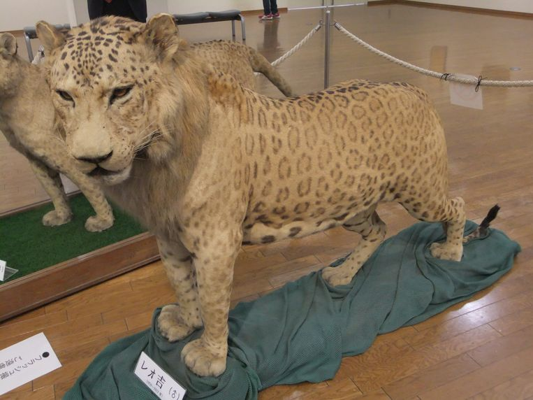 Een leopon.