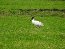 Nog niet naar huis: ontsnapte ibis gespot in de Zuidplas