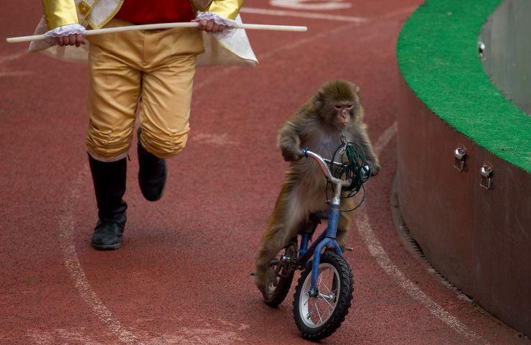 Een aapje moet optreden op een fiets in een Chinees attractiepark. Beeld AFP