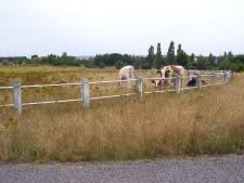 Koeien komen voorlopig niet terug wijk Meerhoven in Eindhoven