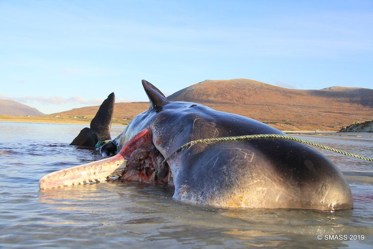 De aangespoelde walvis bij de kust van het eiland Harris.