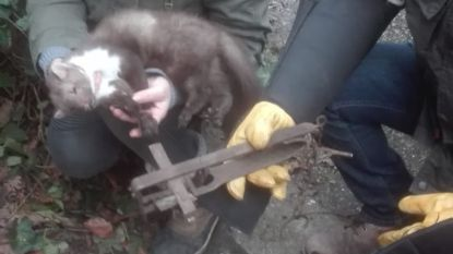 Steenmarter dood aangetroffen in rattenklem