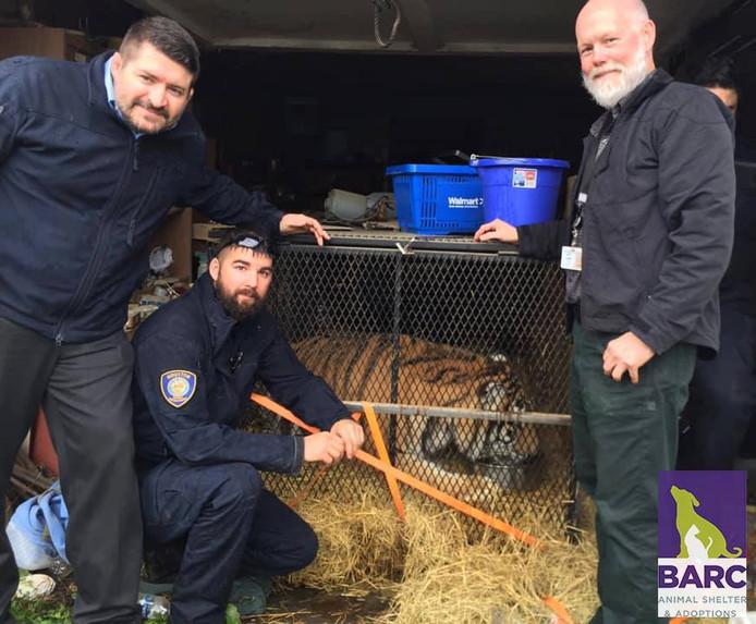 Medewerkers van de dierenopvang bij de kooi van de tijger, voordat het dier naar zijn tijdelijke verblijf werd verplaatst in een paardentrailer.