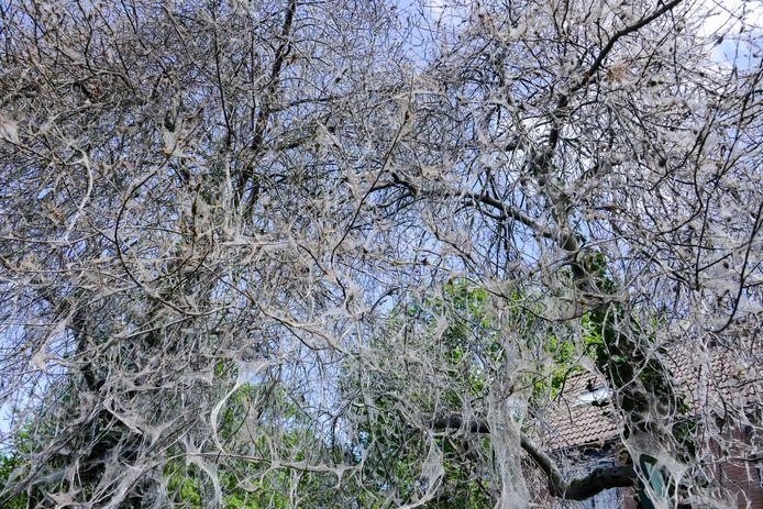 Duizenden spinselmotten in bomen aan de Kunzestraat. Foto van de Biezen