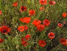 Zo kun jij gezaaide bloemen checken met de aannemer in de gemeente Moerdijk