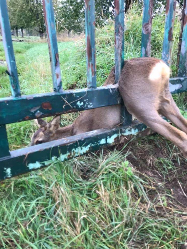 Een ree kwam vast te zitten tussen de stangen van een metalen poort.