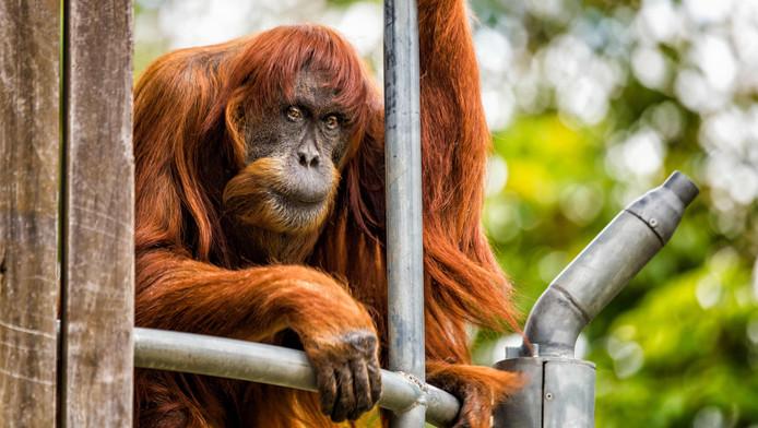 Puan, l'orang-outan le plus vieux du monde, s'est éteinte à l'âge de 62 ans.