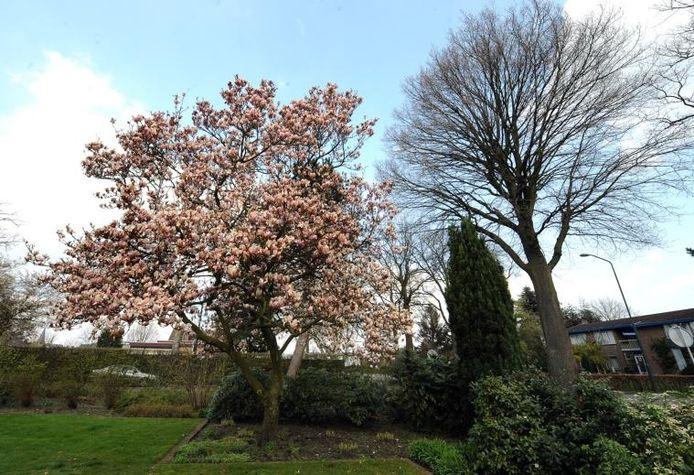 Een magnolia in bloei.