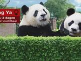 Alles wat je altijd wilde weten over panda's