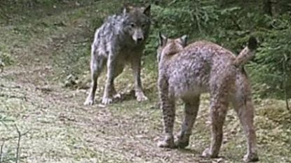 Lezing over wolf en lynx in Wit-Rusland