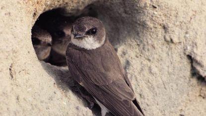 Vrijwilligers Natuurpunt willen oeverzwaluw thuis in Vlassenbroek geven