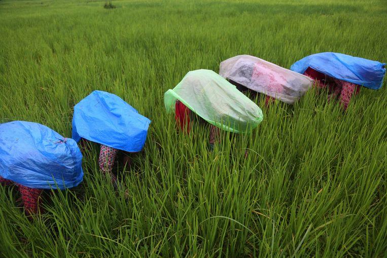 Nepalese boeren aan het werk op een rijstveld in de buurt van Kathmandu. Daar heerst deze maanden de natte moesson.    Beeld AP